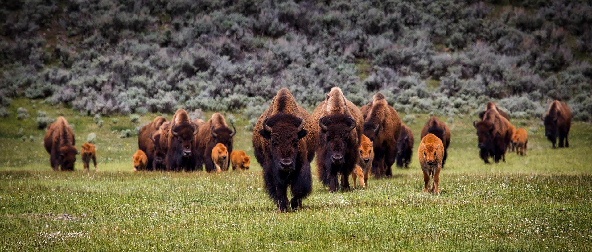 bison-bg