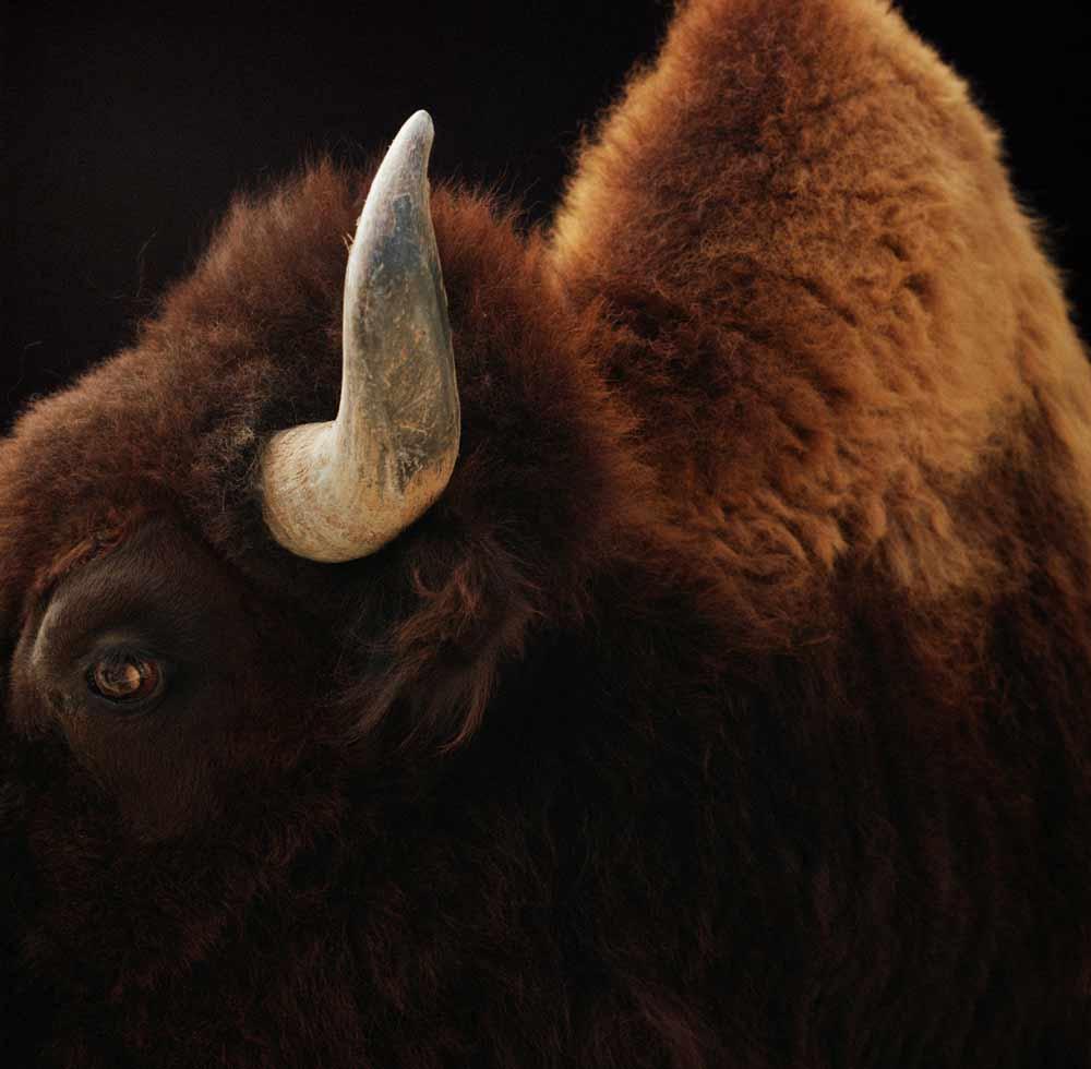 buffalo-side